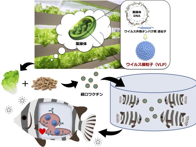 茨城大など、タバコ葉で魚病ウイルスの経口ワクチン開発